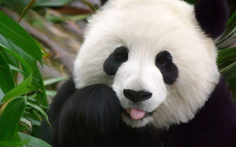 gau-truc-panda